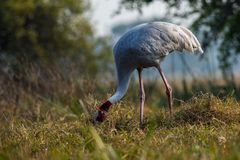 A nature painting and beautiful wall decor scenery which is pleasing to eyes created by sarus crane or Grus antigone. A nature painting and beautiful home decor stock images