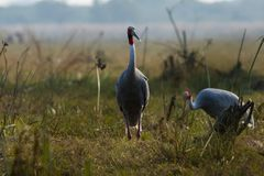 A nature painting and beautiful wall decor scenery which is pleasing to eyes created by sarus crane or Grus antigone. A nature painting and beautiful home decor stock photos
