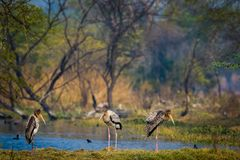 A nature painting and beautiful wall decor scenery which is pleasing to eyes created by painted storks or Mycteria leucocephala. In early morning hours at royalty free stock photography