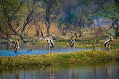 A nature painting by painted storks or Mycteria leucocephala at keoladeo. A nature painting and beautiful wall decor scenery which is pleasing to eyes created by royalty free stock photography