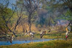 A nature painting by painted storks or Mycteria leucocephala at keoladeo. A nature painting and beautiful wall decor scenery which is pleasing to eyes created by stock image
