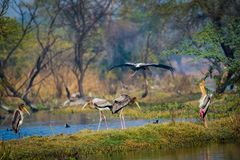 A nature painting by painted storks or Mycteria leucocephala at keoladeo. A nature painting and beautiful wall decor scenery which is pleasing to eyes created by royalty free stock images