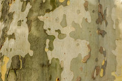 Nature painting - trunk of plane-tree Stock Photo