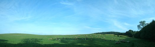 Nature panorama. Panorama of several sheep feeding on grass, almost clear sky Royalty Free Stock Photos