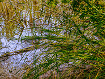 Nature park abandoned old lake, reeds, swamp stock images