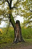 Nature park rogdestveno old tree stock image