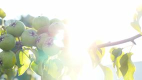 Nature pear tree branch sunlight glare video beautiful. Nature pear tree branch sunlight glare beautiful stock footage