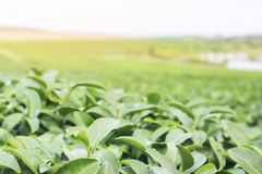 Nature photograph of authentic organic green tea leaves business. stock images