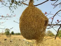 Nature photography. Beautiful nest of bird in spring season   . nature love    photograph. in beautiful agricultural field in maharashtra. This Nest Is Very Rare Royalty Free Stock Image