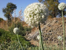 Nature photography. White flower in spring season   . nature love onion  flower photograph. in beautiful agricultural field in maharashtra.You Have to see this Stock Photos