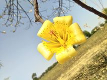 Nature photography. Yellow flower in spring season   . nature love yellow  flower photograph. in beautiful agricultural field in maharashtra.From This Flower The Stock Images