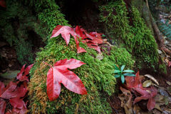 Nature in Phukradueng. Focusing on the big red maple drop down onto a big root of tree which covered by green moss. They are inside Phukradueng national park in royalty free stock image