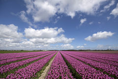 Nature picture of blooming tulips Stock Photos