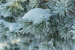Nature pine branches in the winter Royalty Free Stock Photos