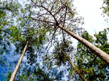 Nature Pine trees background covered by crows branches and vibrant blue sky stock photos