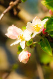 Nature. Pink blossoms on the branch of apple tree Stock Photo
