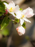Nature. Pink blossoms on the branch of apple tree Royalty Free Stock Photos