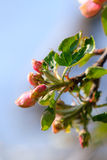 Nature. Pink blossoms on the branch of apple tree Stock Photos