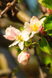 Nature. Pink blossoms on the branch of apple tree Royalty Free Stock Image