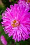 Nature. Pink chrysanthemum is very beautiful Stock Photography
