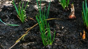 Spring onion vegetable growth closeup Stock Images