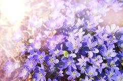 Nature plant purple violet flower in spring with light soft back. Nature plant purple violet flower in spring garden with light soft background Stock Image