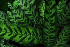 Nature plant texture, tropical foliage Rattlesnake plant Calath royalty free stock photos