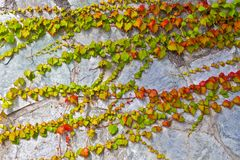 Climbing plant and cement wall Royalty Free Stock Photography