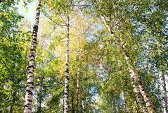 Nature of Ples town, Russia, and the Volga river. Birch trees. Royalty Free Stock Photo