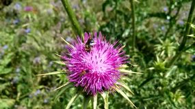 Nature. Pollination. Insects feed on nectar on a flower of a thistle blown by the wind on a spring day stock footage