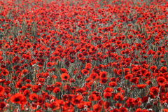 Nature - poppies. Sunrise morning. Field of red poppies royalty free stock images