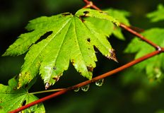 Nature portraits. Rain drops forming on a green vine leaf maple Royalty Free Stock Image
