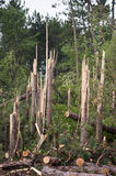 Nature Power, Trees Snapped in Half Tornado Storm. Example of the wrath and power of Mother Nature. Pine trees are snapped in half like toothpicks after a Stock Images