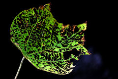 Nature product. Single leaf bite by insect Stock Image