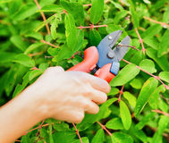 Pruning leaves with garden pruner Royalty Free Stock Image