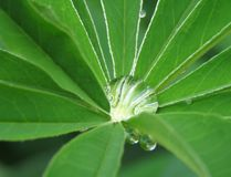 One big drop on the beautiful leaf of the decorative plant Lupinus polyphyllus. stock photography