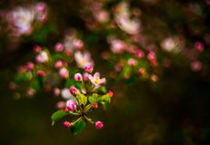Pink blooming in spring stock photos