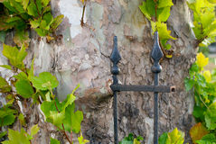 Nature Reclaiming. A tree that has grown around the remains of a wrought iron fence, completely covering several rungs Royalty Free Stock Photos