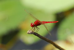 Nature red dragonfly. Red dragonfly resting in the pond royalty free stock images