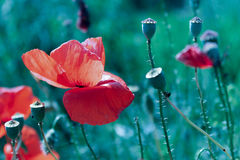 Nature. Red poppies by the roadside. ho Royalty Free Stock Photos