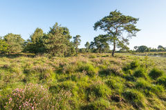 Nature reserve with flowering heather and trees. Dutch nature reserve in the summer with pink flowering heather and trees. In the background a small fen is just Royalty Free Stock Image