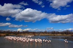 Nature reserve in France. Flock of  Greater Flamingo, Phoenicopterus ruber, nice pink big bird, dancing in the water, animal in th Stock Photo