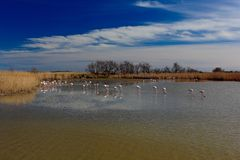 Nature reserve, France. Summer sun. Flock of Greater Flamingo, Phoenicopterus ruber, nice pink bird, dancing in the water, animal Royalty Free Stock Photography