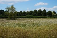 Nature reserve meadow with white flowers and trees Stock Photo