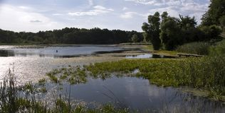 Nature reserve with a natural pond and detailed view at grasses. Swamp with green grass with reflected sky royalty free stock photography