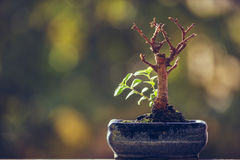 Nature revival power. Dry bonsai tree trunk in a pot with fresh green sprigs over blurred natural background with copy space. Nature revival power. Resilience stock images