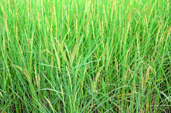Nature rice background texture Royalty Free Stock Photo