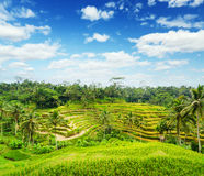 Rice terrace of Bali Island Royalty Free Stock Photography