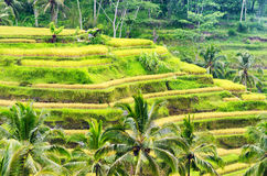 Rice terrace of Bali Island Stock Images