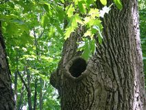 Nature riddles. Two original hollow tree in the spring wood Royalty Free Stock Photography